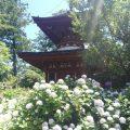 久米寺のあじさい園に行ってきました(^^)/