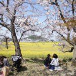藤原京跡の桜も満開です♪